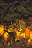 осляк оленей самеца оленя огромный Стоковые Фотографии RF