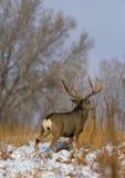 осляк оленей самеца оленя Стоковые Фото