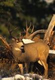 осляк оленей самеца оленя Стоковая Фотография RF