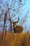осляк оленей самеца оленя Стоковые Фотографии RF