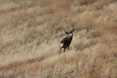 осляк оленей самеца оленя Стоковые Изображения