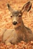 осляк оленей Стоковое Изображение RF