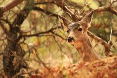 осляк оленей Стоковые Фотографии RF