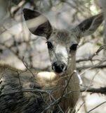 осляк оленей Стоковые Изображения