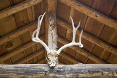 осляк оленей antlers Стоковые Изображения