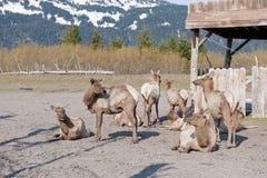 осляк табуна оленей стоковое изображение rf