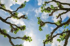 Осмотрите вверх через лимб явора в лете стоковые изображения