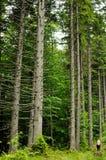 Осмотрите внутренность леса на елях Стоковое Изображение RF