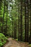 Осмотрите внутренность леса на елях Стоковые Изображения