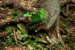 Осмотрите внутренность леса на елях Стоковая Фотография RF