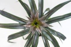 Осмотрите сверху на плодоовощ сочного зрелого ананаса на кусте с листьями на белой предпосылке Стоковое Фото