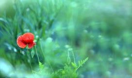 Осмотрите сцену цветка мака зацветая на поле Красивая зима лета в горах Предпосылка запачканная нежностью Завод травы на th стоковая фотография rf