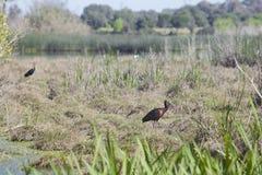 лоснистый ibis Стоковые Фото