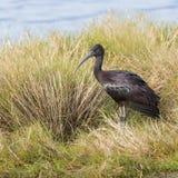 лоснистый ibis Стоковые Изображения RF