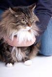 основа енота кота Стоковые Изображения RF
