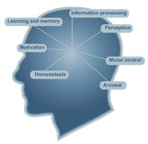 основа функции мозга Стоковая Фотография RF