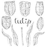 Vector isolated tulip on white royalty free illustration