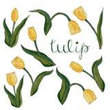 Vector isolated yellow tulip on white. vector illustration