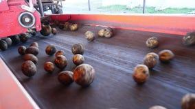 особенный механизированный процесс картошки сортируя на ферме картошки разгружены на конвейерную ленту, для сортировать до конца, видеоматериал