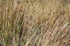 осока травы предпосылки Стоковые Изображения RF