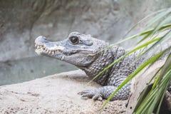 Оставаться крокодила карлика утихомиривает стоковые изображения rf