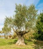 Оставшийся в живых оливкового дерева Стоковая Фотография RF