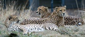 остальные гепардов стоковые изображения