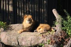 остальные льва Стоковые Фото