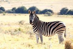 Остановите вытаращить на мне - зебру Burchell Стоковые Изображения RF
