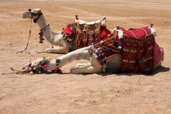 остановка верблюдов Стоковое Изображение
