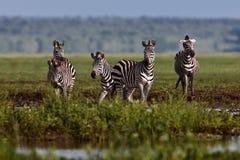 остановленная зебра воды Стоковая Фотография