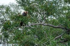 Остатки американской змеешейки дальше на дереве Стоковые Изображения RF