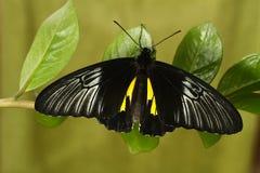 Остатки бабочки Philippinesl золотые birdwing на заводе Стоковые Фото