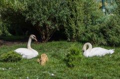 Остатки 2 белые лебедей на траве Стоковые Изображения