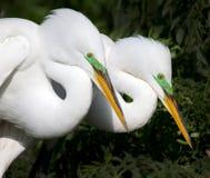 Остатки 2 взрослые белые egrets после сопрягать Стоковые Изображения RF
