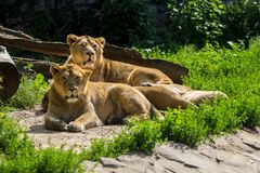 Остатки гордости льва после охотиться Стоковая Фотография RF