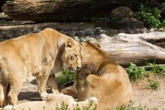 Остатки гордости льва после охотиться Стоковое Изображение
