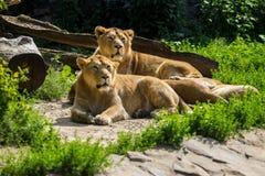 Остатки гордости льва после охотиться Стоковые Фото