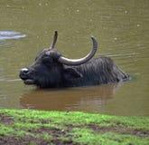 Остатки индийского буйвола в пруде Стоковая Фотография
