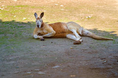 Остатки кенгуру на луге Стоковое фото RF