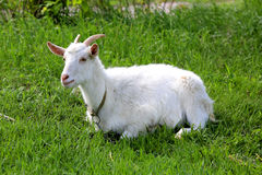 Остатки козы на зеленом выгоне Стоковое Изображение RF