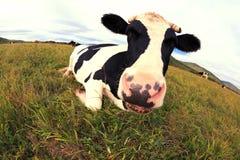 Остатки коровы на злаковике Стоковая Фотография