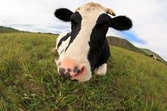 Остатки коровы на злаковике Стоковое Изображение RF
