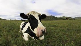 Остатки коровы на злаковике Стоковое Фото