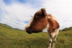 Остатки коровы на злаковике Стоковое фото RF