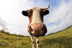 Остатки коровы на злаковике Стоковые Фотографии RF