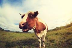 Остатки коровы на злаковике Стоковые Изображения RF