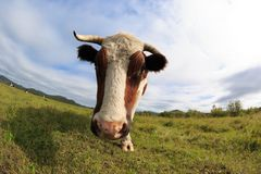 Остатки коровы на злаковике Стоковые Фото