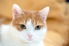 Остатки кота имбиря и представлять на камере для портрета Стоковое Изображение RF