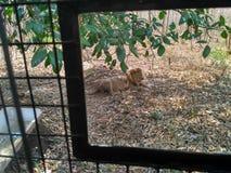Остатки льва Стоковые Фото